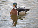 Carolina Wood Duck