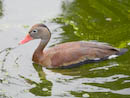 Red-Billed Tree Duck