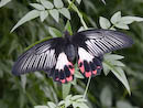 Scarlet Swallowtail (female)
